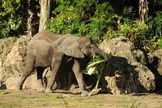 At Disney's Animal Kingdom, an adult male elephant will eat 28 pounds of produce in one day!