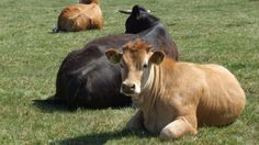 New molecule found can inhibit methane emissions from one of the bigger greenhouse gas producers... cows