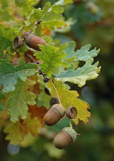 Ideas english oak tree tattoo for 2019 Oak Leaves, Tree Leaves, Oak Tree Tattoo, Mourning Dove, Fall Fruits, Autumn Scenes, Arte Floral, Landscaping Plants, Belleza Natural