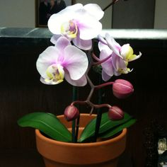 Lovely orchid, a gift from my boss. Orchids, Most Beautiful, Boss, Garden, Flowers, Plants, Gifts, Garten, Presents