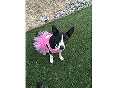 Tempe, AZ - Border Collie Mix. Meet Dakota, a dog for adoption. http://www.adoptapet.com/pet/16973286-tempe-arizona-border-collie-mix