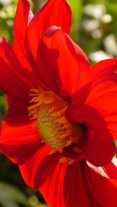 'Red Dahlia Elegance' by Christiane Schulze Art And Photography on artflakes.com as poster or art print $16.63