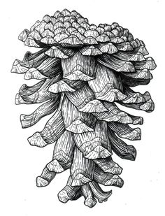 Ponderose Pinecone in Pen and Ink by illustratorkirsten