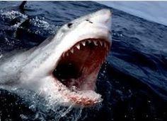 """호주 동부 백상어 공포 """"평화로웠던 푸른 바다, 순식간에 피바다로…"""""""