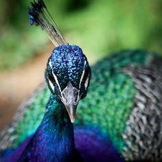 8f1063b9ddddde красивые перья фото - Поиск в Google Pavone, Uscire, Piccione, Rock Star,