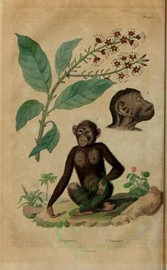 Chimpanzee - high resolution image from old book. Paper Child, Old Book Pages, Art Clipart, Flora And Fauna, Picture Collection, Wall Collage, Mammals, Creatures, Clip Art