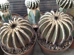 Uebelmannia pectinifera :: kaktusy Tatry - Spiš Cacti, Succulents, Gardens, Plants, Cactus Plants, Outdoor Gardens, Succulent Plants, Plant, Garden