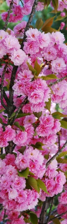 Spring-Beauty of Cherry Blossom - Flowering Cherry Amazing Flowers, Pink Flowers, Beautiful Flowers, Flowers Nature, Pink Flowering Trees, Flower Wallpaper, Flower Power, Planting Flowers, Pretty In Pink