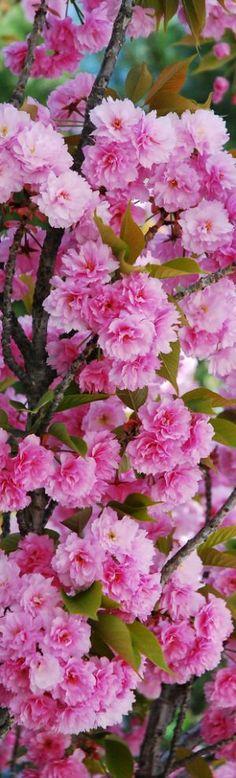 Spring-Beauty of Cherry Blossom - Flowering Cherry Amazing Flowers, Pink Flowers, Beautiful Flowers, Flowers Nature, Pink Flowering Trees, Daffodils, Flower Power, Planting Flowers, Wedding Flowers