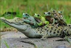 Rather odd choice of companions - hope none of those frogs end up as the alligators lunch
