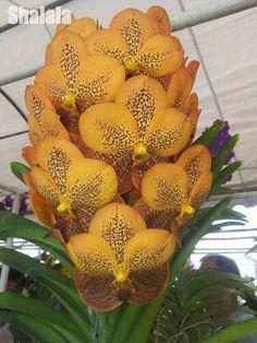 50pcs Rare Vanda Seeds,Beautiful Mini Bonsai Flower Seeds Easy To Grow Orchid Seeds Flower Diy Home Garden