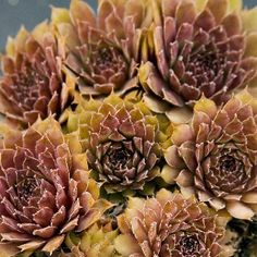 Sempervivum Pacific Mayfair S-1003  Deep rose-red coloring with nice white fringing.
