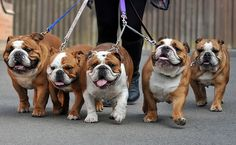 Imagine your life with five Bulldogs!