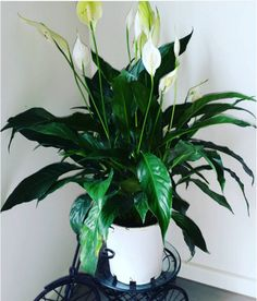Peace Lily (Spathiphyllum) | 15 Beautiful House Plants That Can Actually Purify Your Home