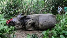 This is what rhino poaching in India looks like: dehorn the animal when it is still alive and leave it to die