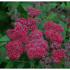 Double Play Red Spirea (Spiraea) Live Shrub, Pink and Red Flowers with Red to Green Foliage, 3 Gal.