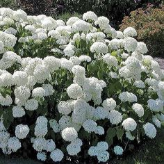 Annabelle Hydrangea (Hydrangea arborescens Annabelle) at Wayside Gardens (Color can be adjusted with Color change fertilizer. Garden Shrubs, Flowering Shrubs, Landscaping Plants, Trees And Shrubs, Garden Plants, Hydrangea Arborescens Annabelle, Annabelle Hydrangea, Hortensia Annabelle, Hydrangea Care