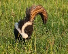 Striped Skunk native to the prairies