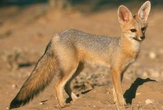 Cape Fox - The only true fox and the smallest canid found in South Africa. The Cape Fox is silver-grey in colour with large pointed ears. They have a dark colouring around the mouth. Adults measure 350 mm at the shoulders and have a weight of 2.5-3 kg.