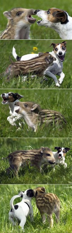jack russell play pig