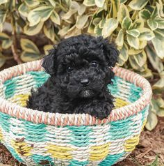 😍#Adorable & #Sweet.... ❣️🐶This cutie is getting lots of #snuggles and #kisses daily. This cute little #Pomapoo is named Nina, her #gentlepersonality will melt your heart! #Charming #PinterestPuppies #PuppiesOfPinterest #Puppy #Puppies #Pups #Pup #Funloving #PuppyLove #Cute #Cuddly #Adorable #ForTheLoveOfADog #MansBestFriend #Animals #Dog #Pet #Pets #ChildrenFriendly #PuppyandChildren #ChildandPuppy #LancasterPuppies www.LancasterPuppies.com Poodle Mix Puppies, Cute Puppies, Mini Poodles, Lancaster Puppies, Animals Dog, Puppies For Sale, Mans Best Friend, Snuggles, Puppy Love