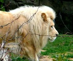 Picture of a male Lion with a light-colored mane.