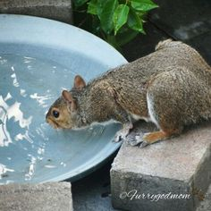 Even unsalted nuts make Mr Squirrel thirsty.