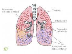 Anatomía del pulmón - Onmeda.es #anatomía #pulmón #salud #medicina #health