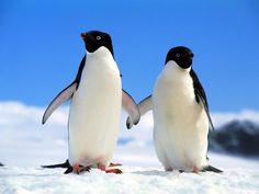 Výsledek obrázku pro tučňák