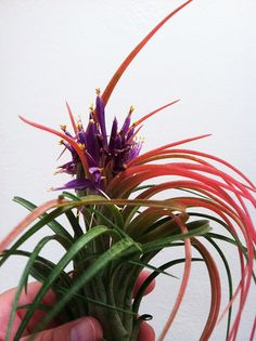 Air plant Tillandsia