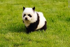 10 Dogs That Look Like Pandas animals