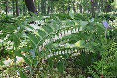 Polygonatum x hybridum 'Valerie's Song' - Jardin du sous bois - Les galeries photo de plantes de GardenBreizh