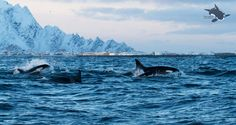 Orca sighting update in Andfjord off Andenes, Norway by NOS.