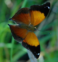 Leafwing butterfly---like the color design but want in a rich blue