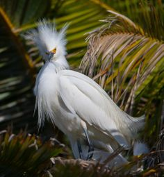 ༻⚜༺ ❤️ ༻⚜༺ The Exquisite Snowy (Egretta Thula) Egret is one of the most common species of heron in the Peruvian Andes. It is a medium-sized white heron, w/ a long black bill, long legs and bright yellow feet. ༻⚜༺ ❤️ ༻⚜༺