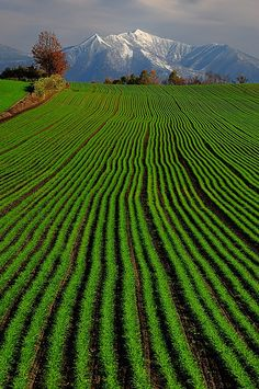 Green Wheat - Biei, Hokkaido, Japan