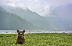 A Moment in Khutzeymateen Photo by Michelle Valberg — National Geographic Your Shot