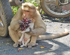 Earlier this month, a rhesus macaque monkey adopted a puppy in Rode, India. After watching the monkey defend the little dog from strays, the locals were so impressed that they set out food for the two unusual companions. To everyone's surprise, the monkey was so compassionate that it even let the dog eat first!