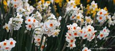 Scented Daffodil Trial 20182 Scented Planting the Dalefoot Composts Double Strength Wool Narcissus Narcissus Narcissus 'Petit Narcissus Narcissus Narcissus 'Fragrant Narcissus Narcissus 'Sweet Narcissus Narcissus Narcissus 'White Narcissus 'White… Daffodil Bulbs, Daffodil Flower, Daffodils, Love Flowers, White Flowers, Easy Garden, Garden Ideas, Beneficial Insects, Trumpets