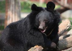 5 Ways You Can Help Animals Asia End Bear Bile Farming