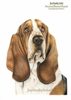 Bommel Basset hound by Jess Stanley Artist - in coloured pencil #basset #colouredpencil