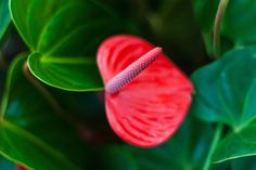 How to Care For an Anthurium
