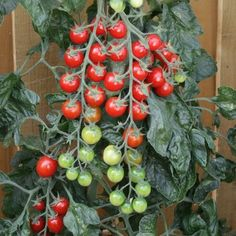 Pase Seeds - Sugargloss Tomato Seeds, $7.99 (https://www.paseseeds.com/sugargloss-tomato-seeds/)
