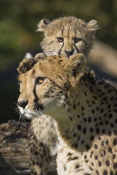 Cheetah Mother and Cub | Flickr - Photo Sharing!