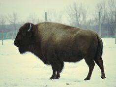 American Bison/Buffalo #3 Art Print