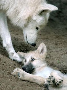 Wolf love - SAVE THE WOLVES
