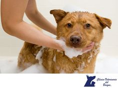 El baño de tu mascota. LA MEJOR CLÍNICA VETERINARIA DE MÉXICO. Idealmente a un perro saludable sólo es necesario bañarlo una vez al mes al menos que esté muy sucio, pero si tu mascota cuenta con problemas en la piel, es necesario bañarlo con más frecuencia, el médico veterinario te indicara la frecuencia y el champú medicado para la enfermedad especifica. En Clínica Veterinaria del Bosque contamos con médicos especialistas para atender a tu mascota. #veterinariadelbosque