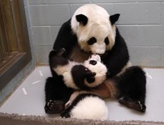 She's like one of those moms on Facebook who just wants you to look at one more picture of their little one. | This Panda Mom Is Adorably Obsessed With Her Babies