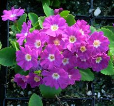 Show details for Primula 'Boothman'