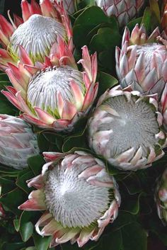 Protea Source by TheCobraLily Protea Flower, Flower Meanings, Flower Boutique, Decoupage Paper, Flower Photos, Amazing Flowers, Botanical Illustration, Animal Paintings, Beautiful Birds
